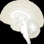 human brain in the lab